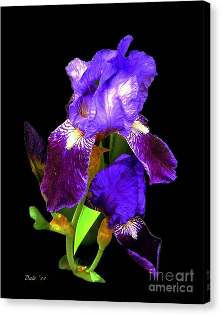 Iris On Black Canvas Print