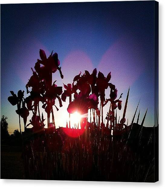 Irises Canvas Print - #irises #flowers #nature #sun by Trina H