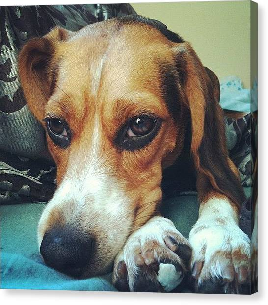 Beagles Canvas Print - Is It Morning Already? by Harsh Vahalia