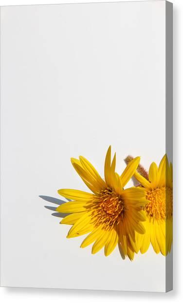 Isolated Yellow Chrysanthemum Flower Canvas Print by Gal Ashkenazi