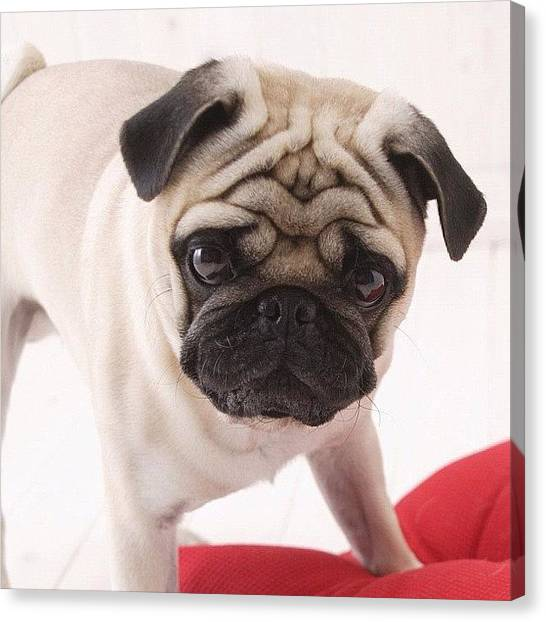 Pugs Canvas Print - #its #a #pug #i #love #pugs #cute by Alexis V