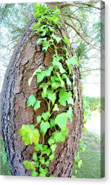 Ivy Tree Canvas Print by Paula Deutz
