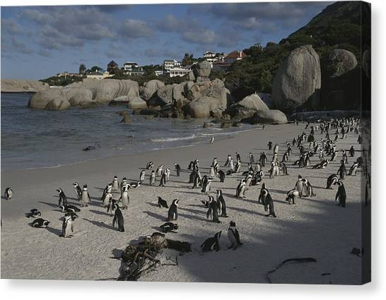 Republic Of South Africa Canvas Print - Jackass Penguins Strut For Tourists by Stacy Gold