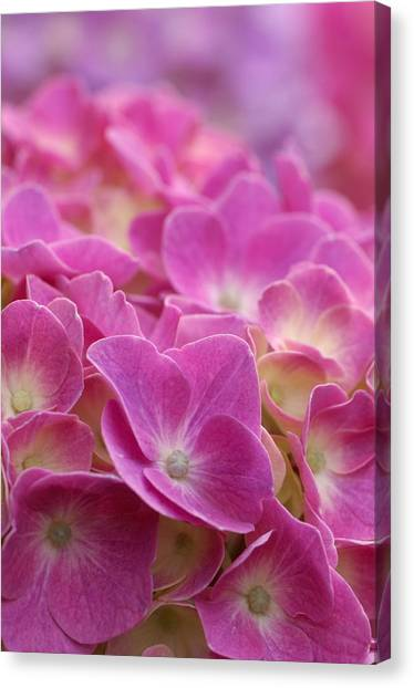Japan, Kanagawa Prefecture, Sagamihara City, Close-up Of Pink Flowers Canvas Print by Imagewerks