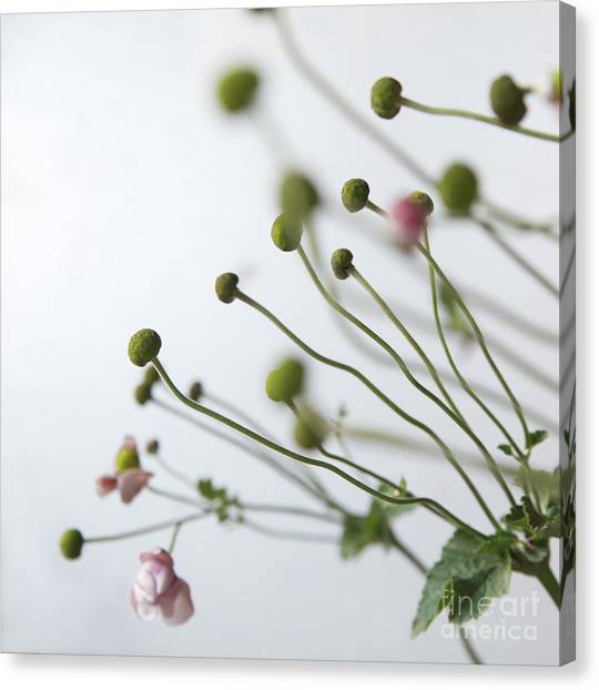 Japanese Anemones Canvas Print by Ruby Hummersmith