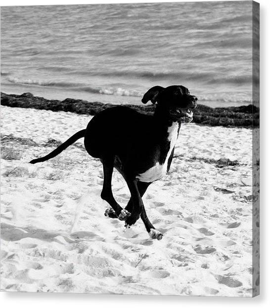Florida Canvas Print - Jimmie The Great Dane by Joel Lopez