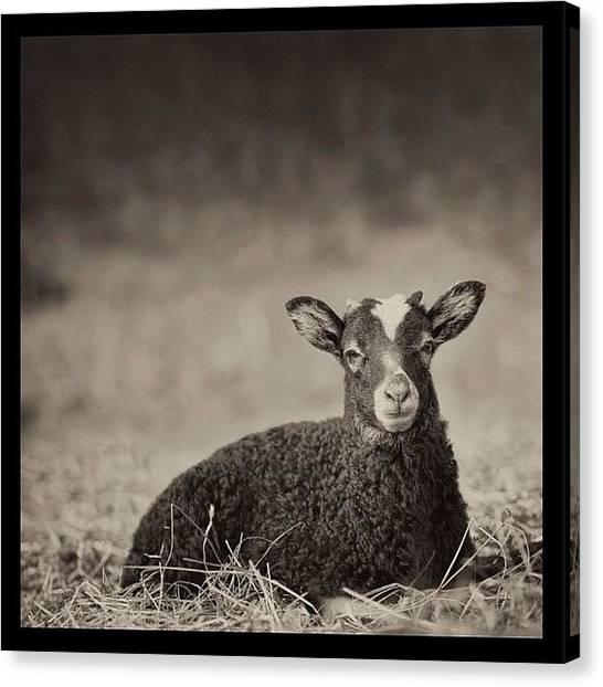 Goats Canvas Print - #jj #jj_forum #igers #gmy #landscape by Fritzerizer Photo