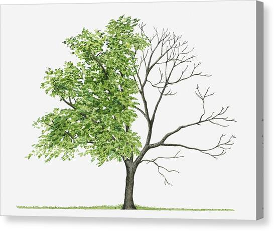 Juglans Cinerea (butternut): Illustration Showing Shape Of Deciduous Juglans Cinerea (butternut) Tree With Green Summer Foliage And Bare Winter Branches Canvas Print by Liz Pepperell