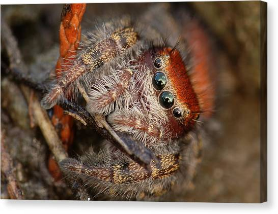 Jumping Spider Portrait Canvas Print