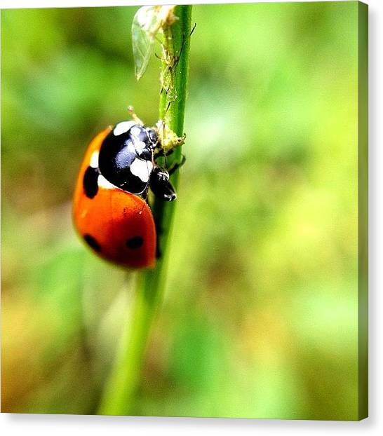 Ladybugs Canvas Print - Just A Little Snack by Misty D