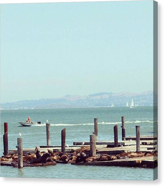 Ocean Animals Canvas Print - Just A Whole Lot Of Sea Lions #ocean by Saul Jesse Beas