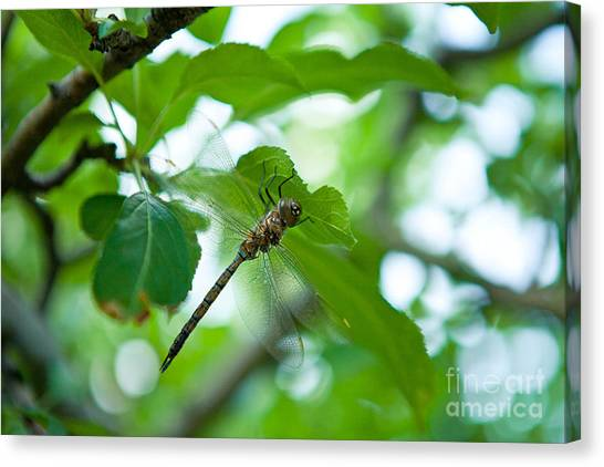 Just Buzzin By Canvas Print