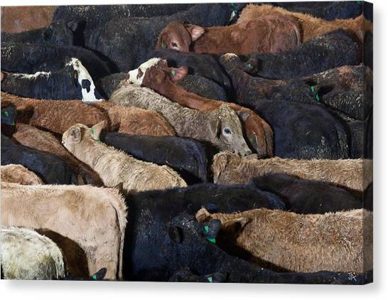 Just Cattle Canvas Print