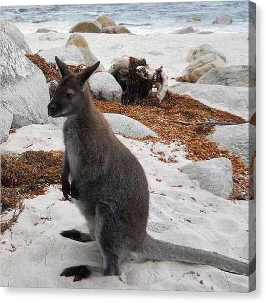 Kangaroo Canvas Print - Just Got A Postcard From My Buddy by The Fun Enthusiast