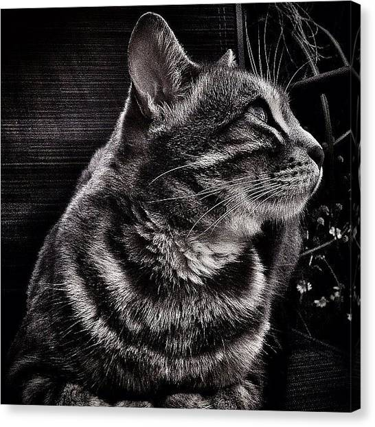 Bengals Canvas Print - Just Sitting Here, Catching A Breeze by Amber McCauley