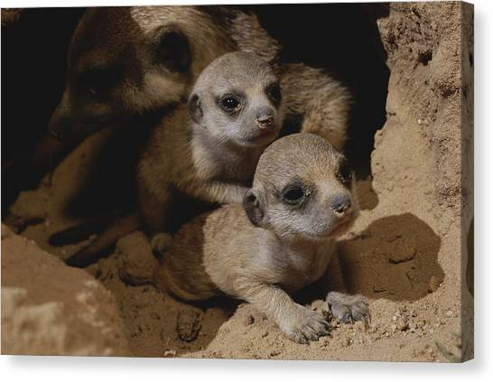 Republic Of South Africa Canvas Print - Just Waking Up, Two Meerkat Pups by Mattias Klum