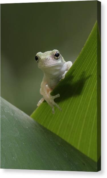 Juvenile Grey Treefrog Canvas Print