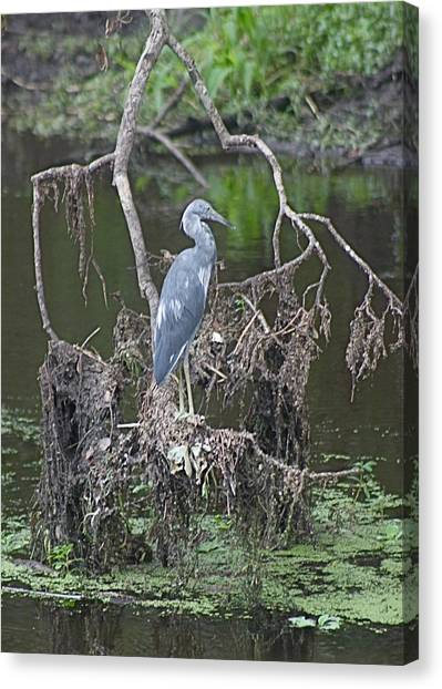 Juvenile Little Blue Heron Canvas Print