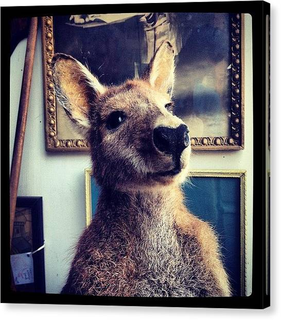 Kangaroo Canvas Print - #kangaroo #taxidermy by Michael Difalco
