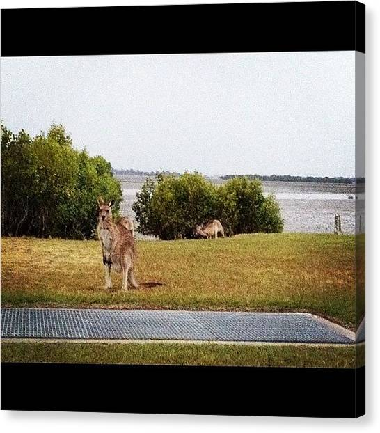 Kangaroo Canvas Print - #kangarootown #queensland #toorbul by Tony Keim