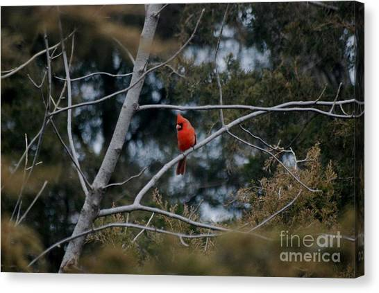 Kansas Cardinal Canvas Print