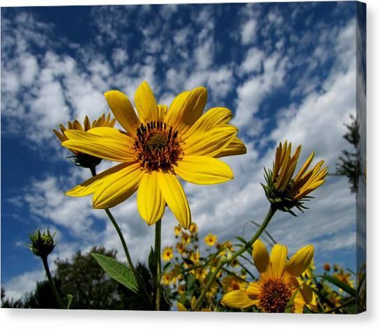 Kansas Sunflower Canvas Print by Ed Golden