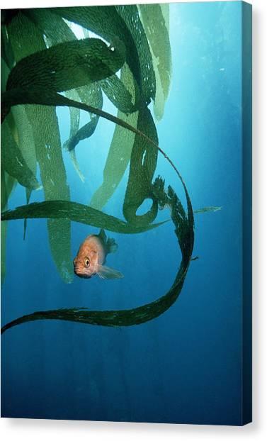 Kelp Forest Canvas Print - Kelpfish by Georgette Douwma
