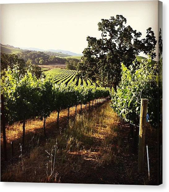 Winery Canvas Print - Kenwood Vineyards Morning by Crystal Peterson