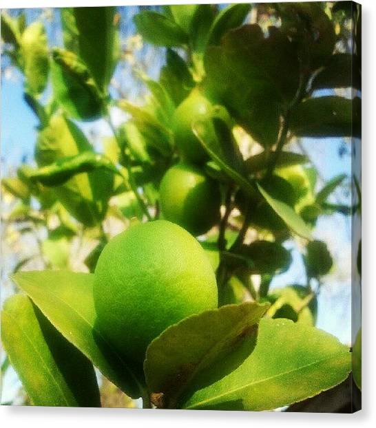 Limes Canvas Print - #keylime Looks Ready For My #beer #yum by Fernando Ostos