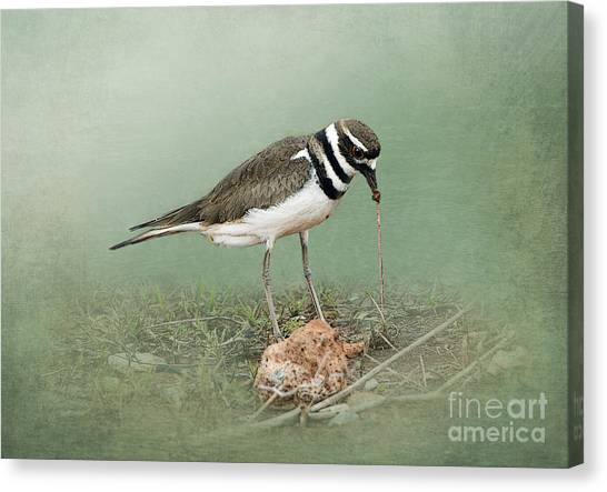 Killdeer Canvas Print - Killdeer And Worm by Betty LaRue
