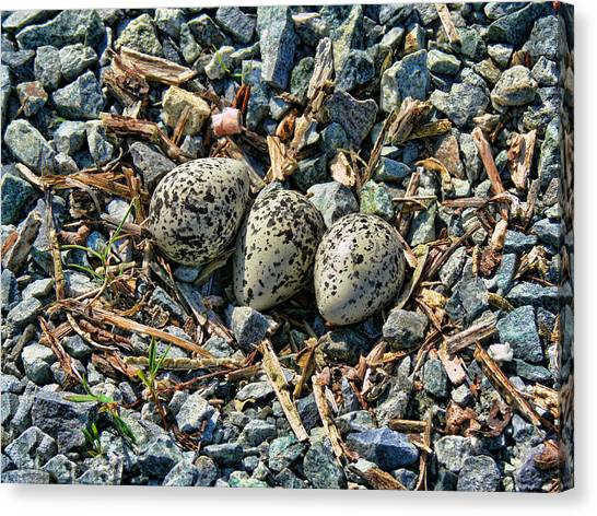 Killdeer Canvas Print - Killdeer Bird Eggs by Jennie Marie Schell