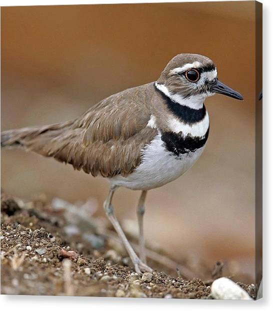 Killdeer Canvas Print - #killdeer #birds #birding #nature by Raul Roa