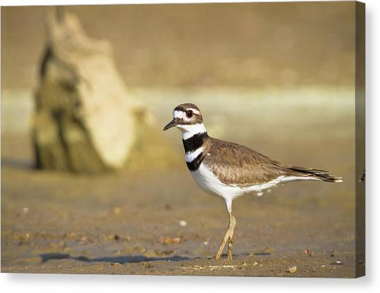 Killdeer Canvas Print - Killdeer On The Shore by Steven Llorca