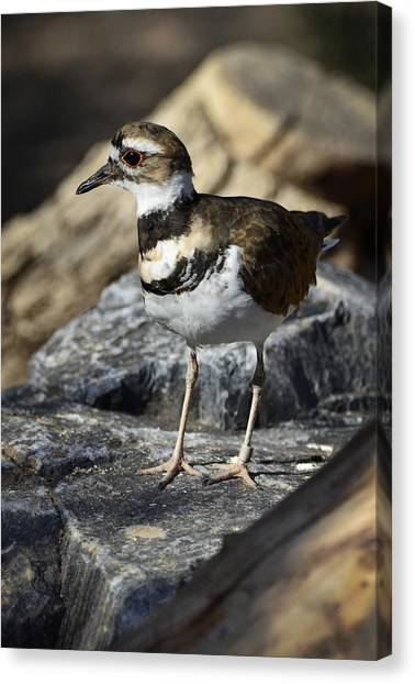Killdeer Canvas Print - Killdeer by Saija  Lehtonen