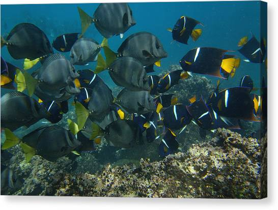 World Schooling Canvas Print - King Angelfish Holacanthus Passer by Pete Oxford