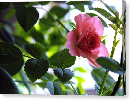 Kissed By A Rose Canvas Print