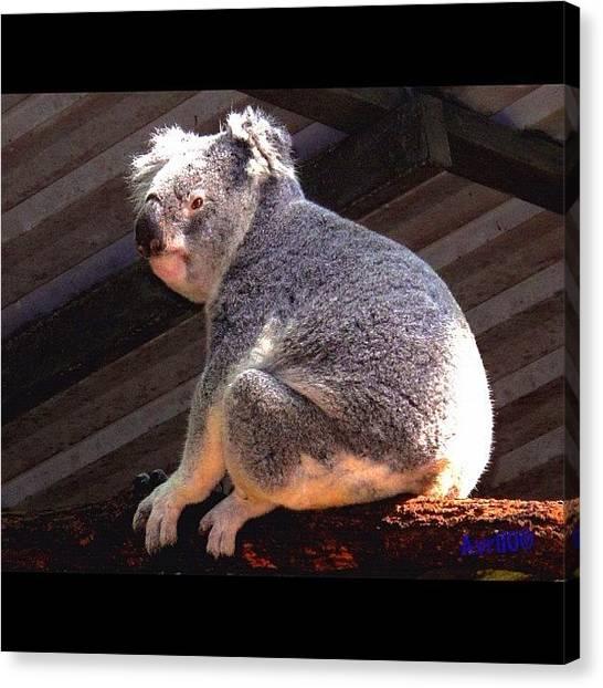 Koala Canvas Print - Koala by Avril O