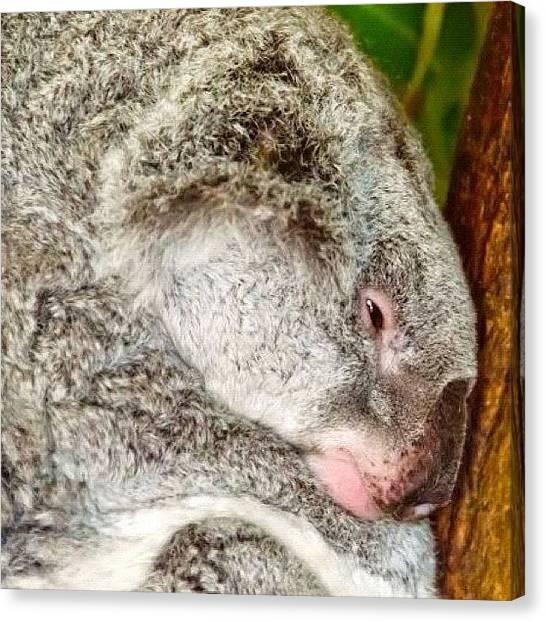 Koala Canvas Print - #koala #coala #zoo #wild #wildlife by Adriana Guimaraes