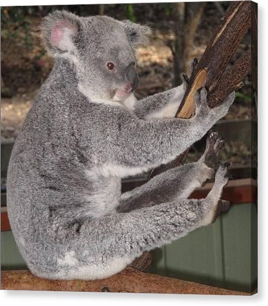 Koala Canvas Print - Koala Having A Good Stretch! #koala by Avril O