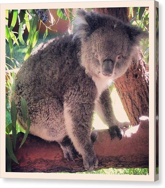 Koala Canvas Print - Koala... The Original Chlamydia by Jessica Daubenmire