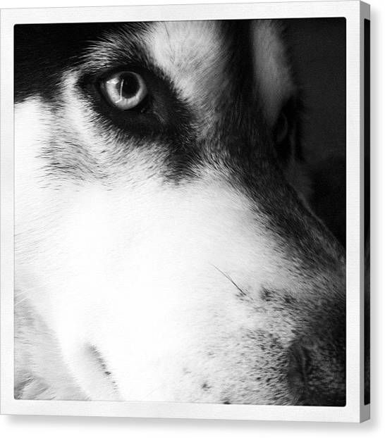 Small Mammals Canvas Print - Koda Close Up. #koda #husky #puppy by Brett Pugsley