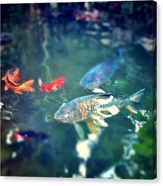 Ponds Canvas Print - #koi #fish #pond #nature #ecuador by Martin Endara