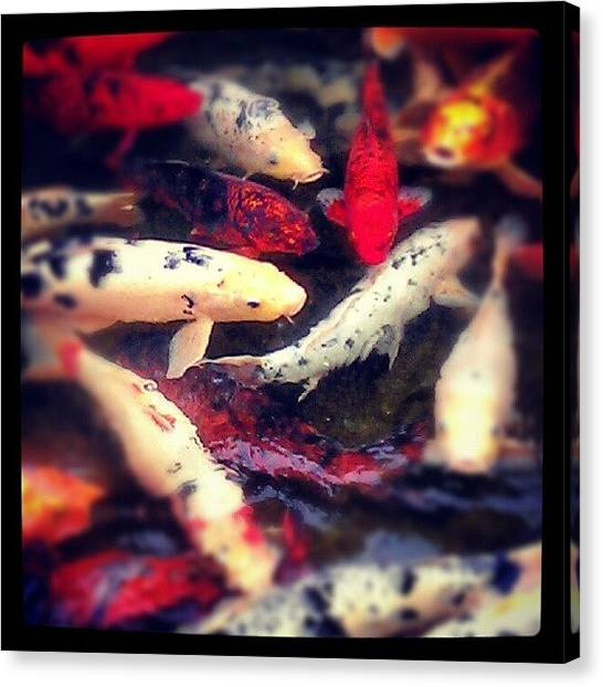 Schools Canvas Print - Koi Swarm by Christopher Baker