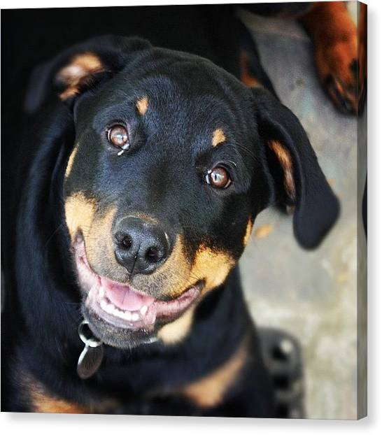 Tongue Canvas Print - #kye #puppy #dog #rottweiler #tongue by Morgan M