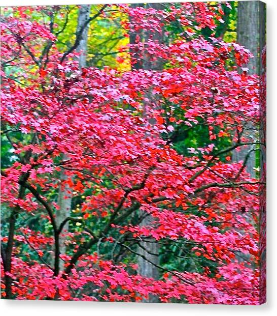 Apple Tree Canvas Print - Lacy Red Maple Trees by Anna Porter