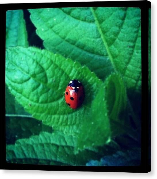 Beetles Canvas Print - #ladybird #ladybug #coccinellidae by Miss Wilkinson