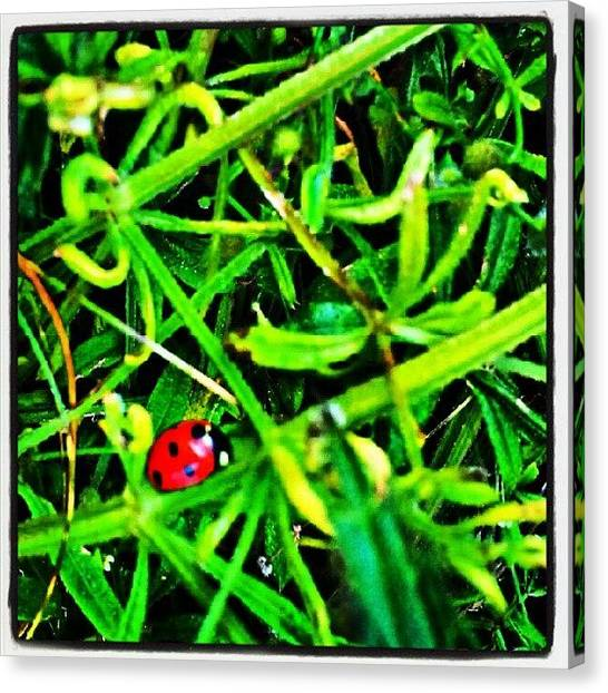 Beetles Canvas Print - Ladybird by Vicki Field