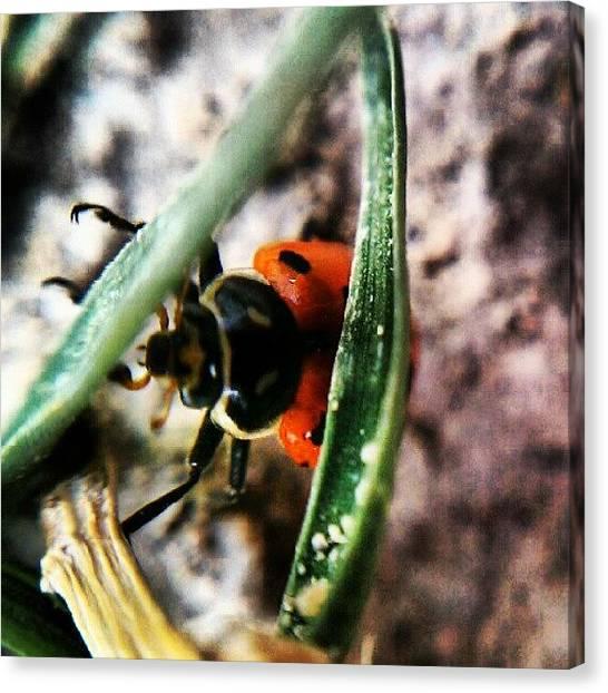 Beetles Canvas Print - #ladybug #beetles #bug #insect by Jen Flint