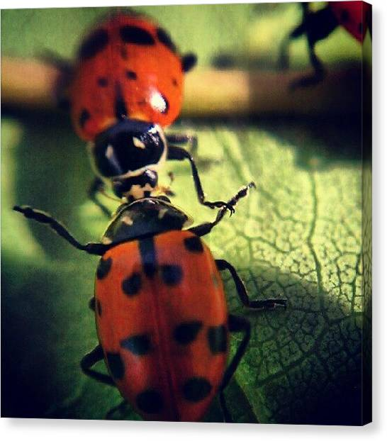 Ladybugs Canvas Print - #ladybug #love #instagramhub #hubinsect by Jen Flint