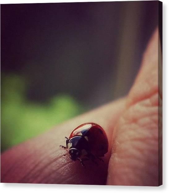 Ladybugs Canvas Print - #ladybug #nature #hallikajd_animal #bug by Dja Killah